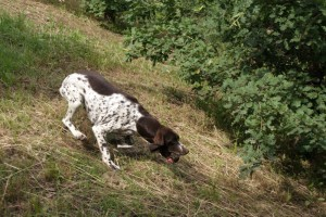 Luna, a Branco-Pointer mix, retrieves a truffle from the nearby woods. Luna is currently being trained by owner Vittorio Scalbi.