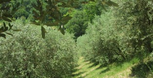 Baiocco has 250 olive trees that line the perimeter of his front yard.